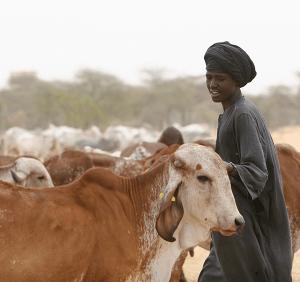 Laiteries sénégalaises: inscrire dans la durée les changements initiés