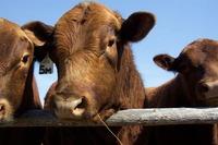 Réduction de la consommation de viande et de produits laitiers industriels – GRAIN