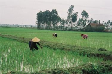 © IRD / Patrice Cayré Scène de culture du riz au nord Viet-Nam